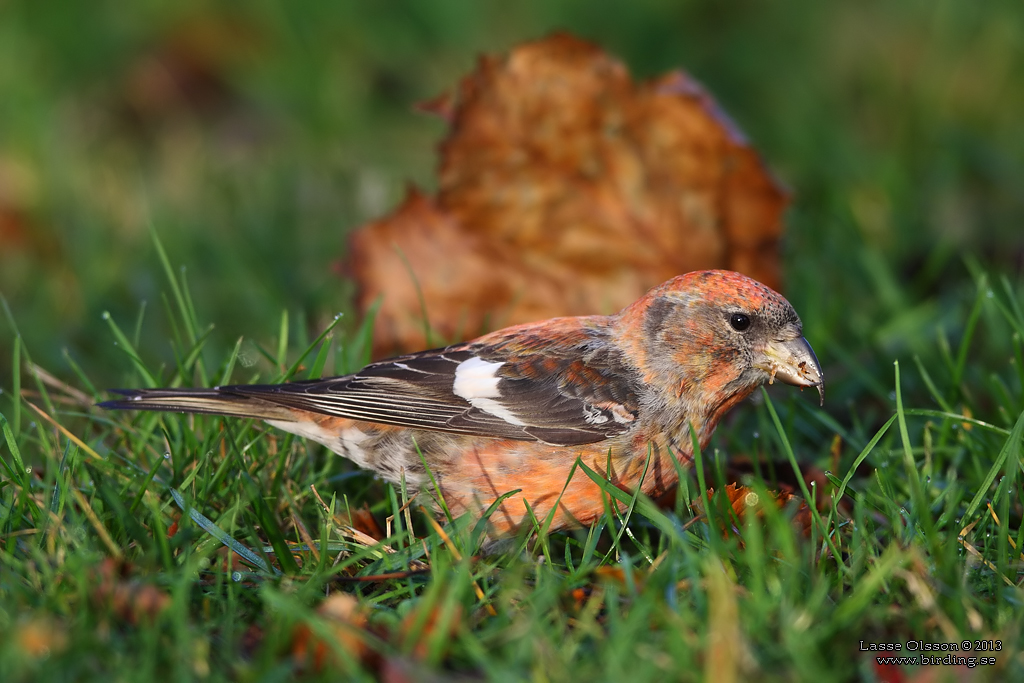 BÄNDELKORSNÄBB / TWO-BARRED CROSSBILL (Loxia leucoptera) - Stäng / Close