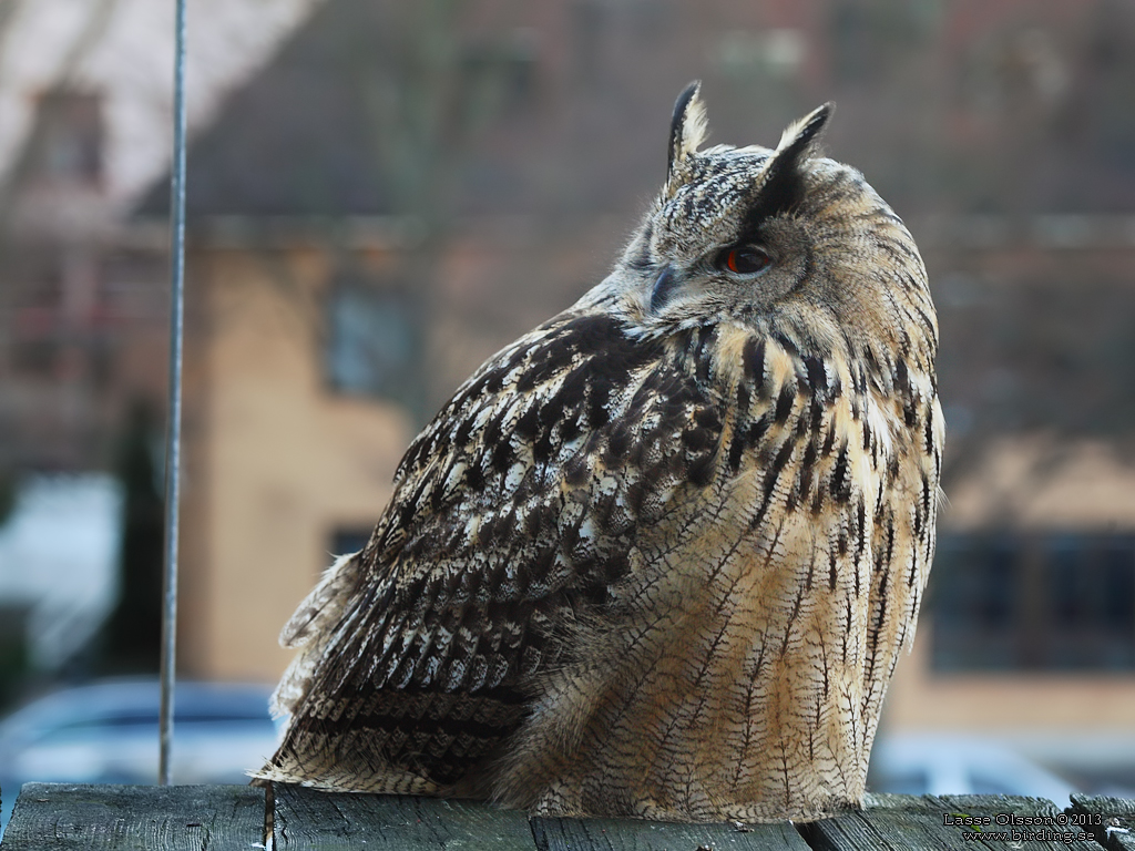 BERGUV / EAGLE OWL (Bubo bubo) - Stäng / Close