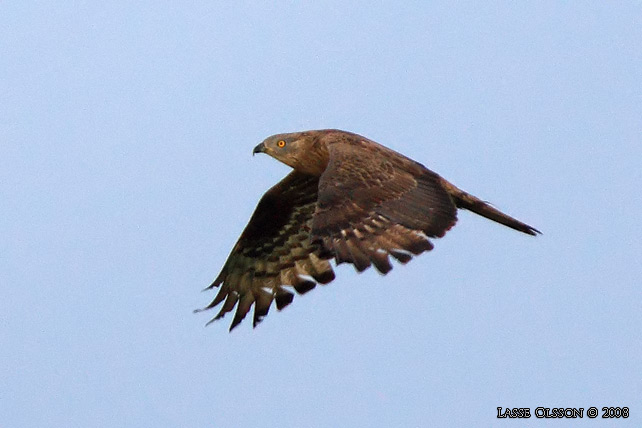 BIVRÅK / HONEY BUZZARD (Pernis apivorus)
