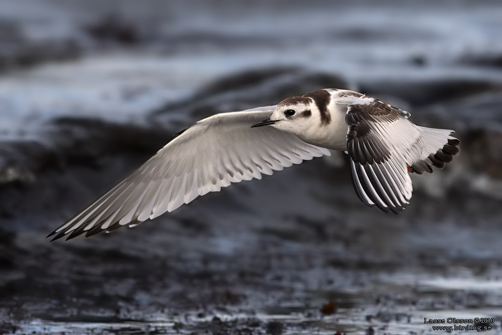 DVÄRGMÅS / LITTLE GULL (Larus minutus) - StÄng / Close