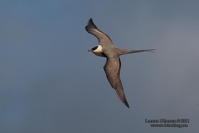 Long-tailed skua   New Zealand Birds Online