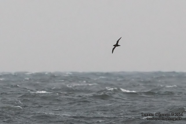 GRÅLIRA / SOOTY SHEARWATER (Puffinus griseus)
