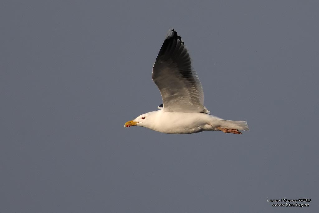 HAVSTRUT / GREATER BLACK-BACKED GULL (Larus marinus) - Stäng / Close