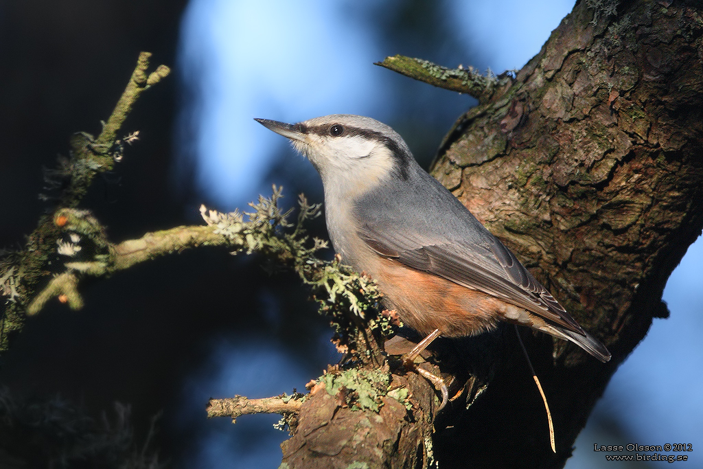 NÖTVÄCKA / NUTHATCH (Sitta europea) - Stäng / Close