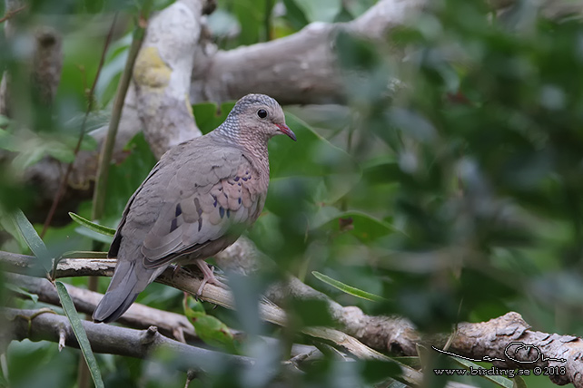 COMMON GROUND DOVE  (Columbina passerina) - STOR BILD / FULL SIZE