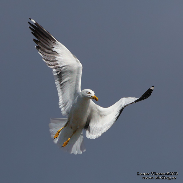 SILLTRUT / LESSER BLACK-BACKED GULL (Larus fuscus) - stor bild / full size
