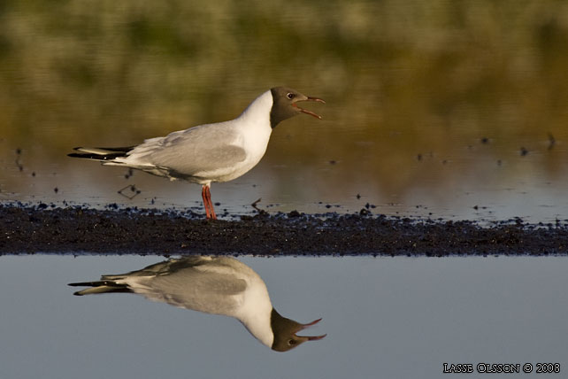 SKRATTMÅS / BLACK-HEADED GULL (Larus ridibundus) - stor bild / full size