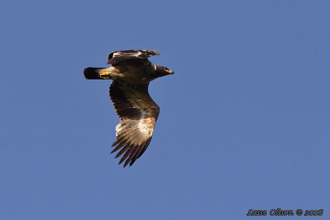 STÄPPÖRN / STEPPE EAGLE (Aquila nipalensis)