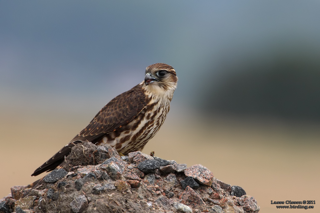 STENFALK / MERLIN (Falco columbaris) - Stäng / Close