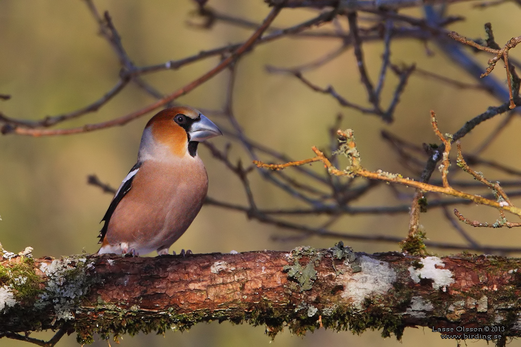 STENKNÄCK / HAWFINCH (Coccoyhraustes coccothraustes) - Stäng / Close