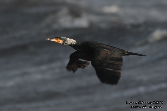 STORSKARV / GREAT CORMORANT (Phalacrocorax carbo) - stor bild / full size