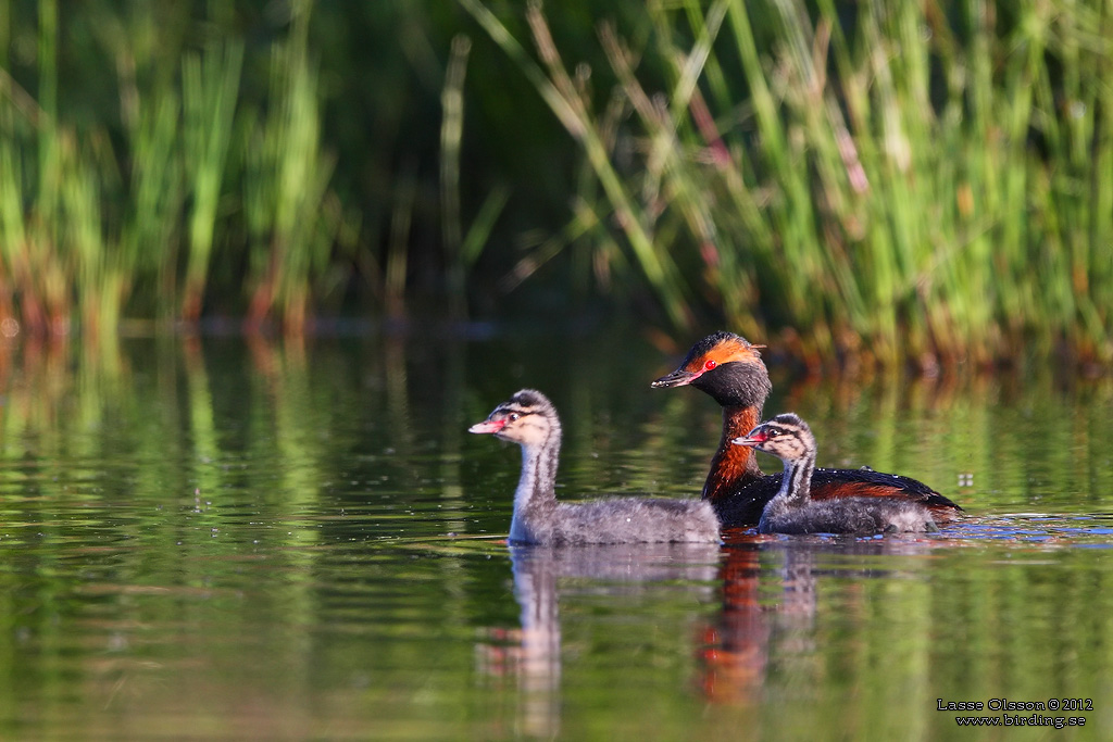 SVARTHAKEDOPPING / HORNED GREBE (Podiceps auritus) - Stäng / Close