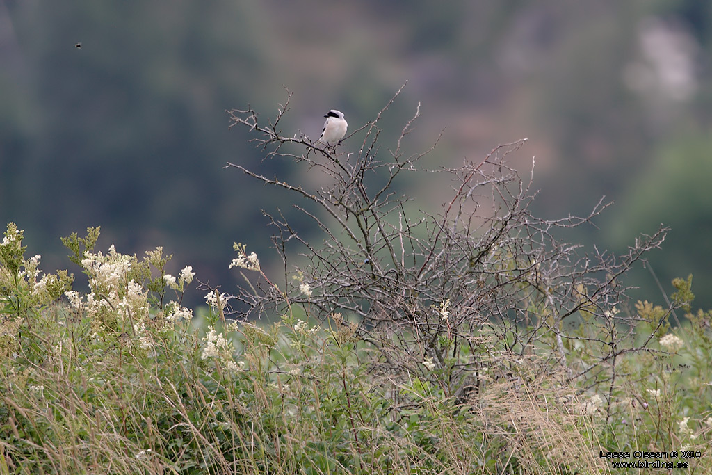 SVARTPANNAD TÖRNSKATA / LESSER GREY SHRIKE (Lanius minor) - StÄng / Close