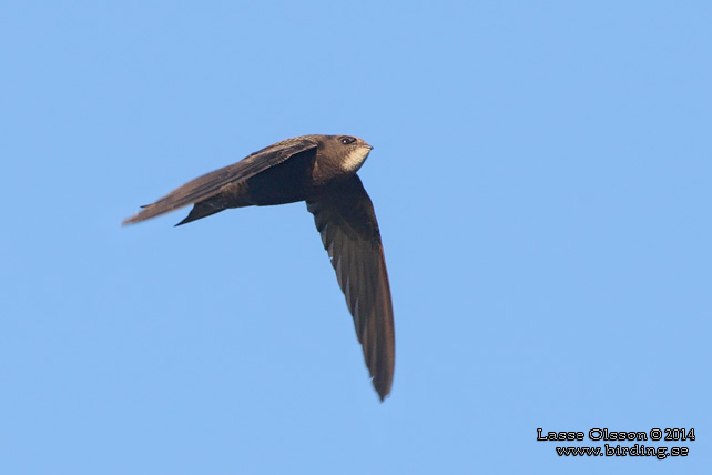 TORNSEGLARE / COMMON SWIFT (Apus apus) - stor bild / full size