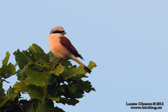 TÖRNSKATA / RED-BACKED SHRIKE (Lanius collurio) - stor bild / full size