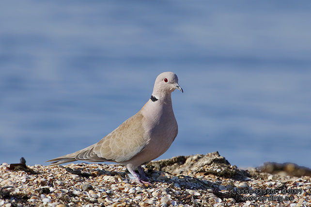 TURKDUVA / COLLARED DOVE (Streptopelia decaocta) - stor bild/ full size
