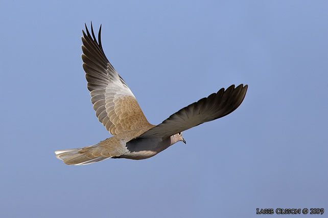 TURKDUVA / COLLARED DOVE (Streptopelia decaocta)