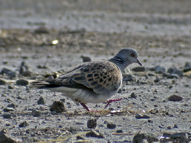 TURTURDUVA / TURTLE DOVE (Streptopelia turtur)