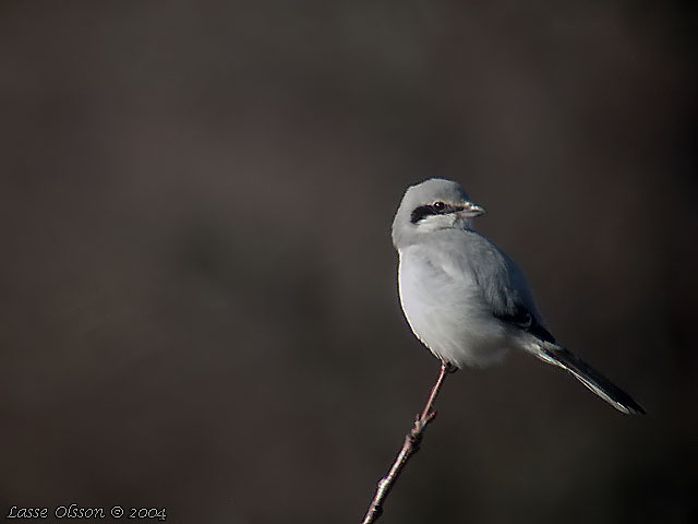 VARFÅGEL / GREAT GREY SHRIKE (Lanius excubitor)